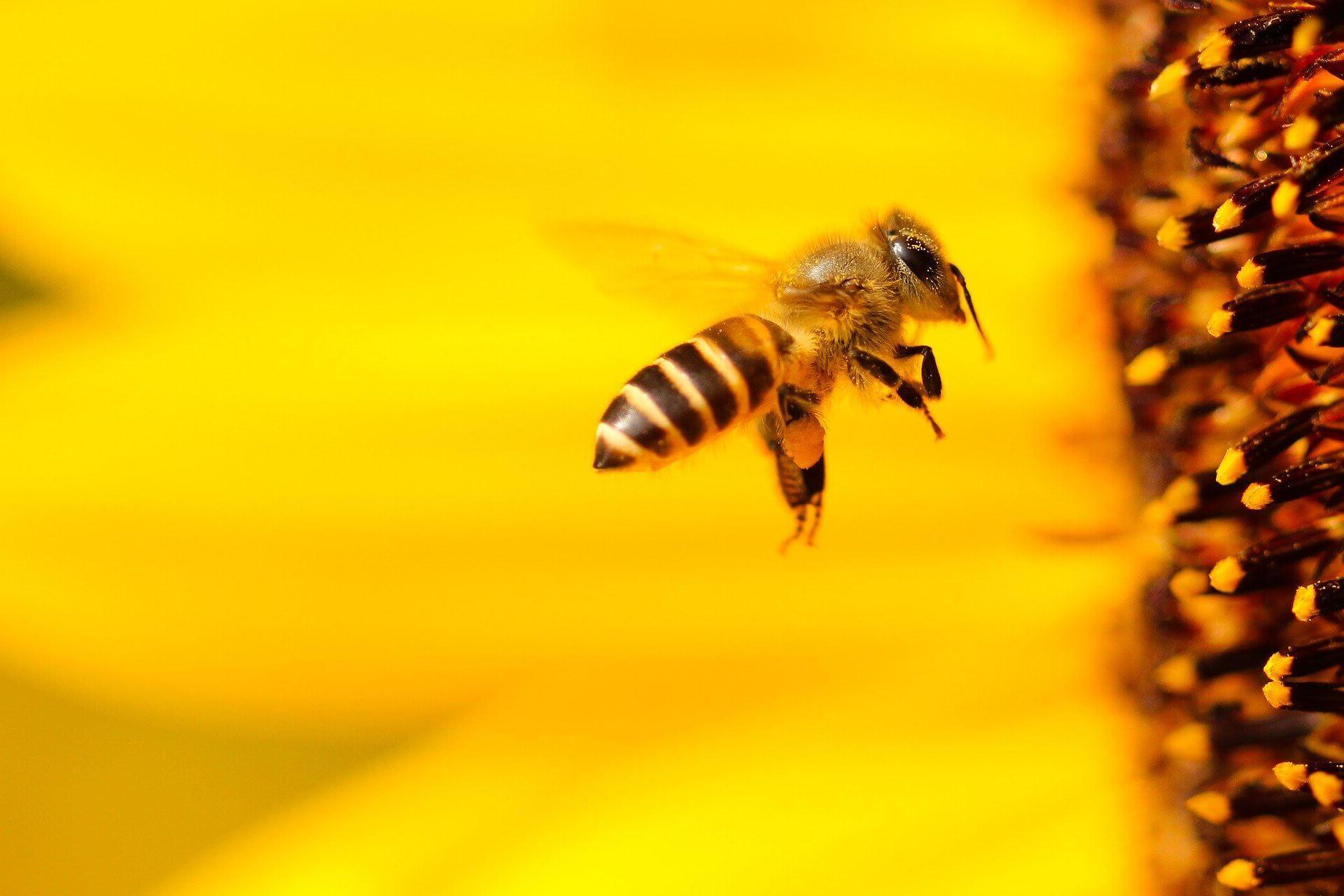 Bienen sind in Gefahr Bienenpatenschaft