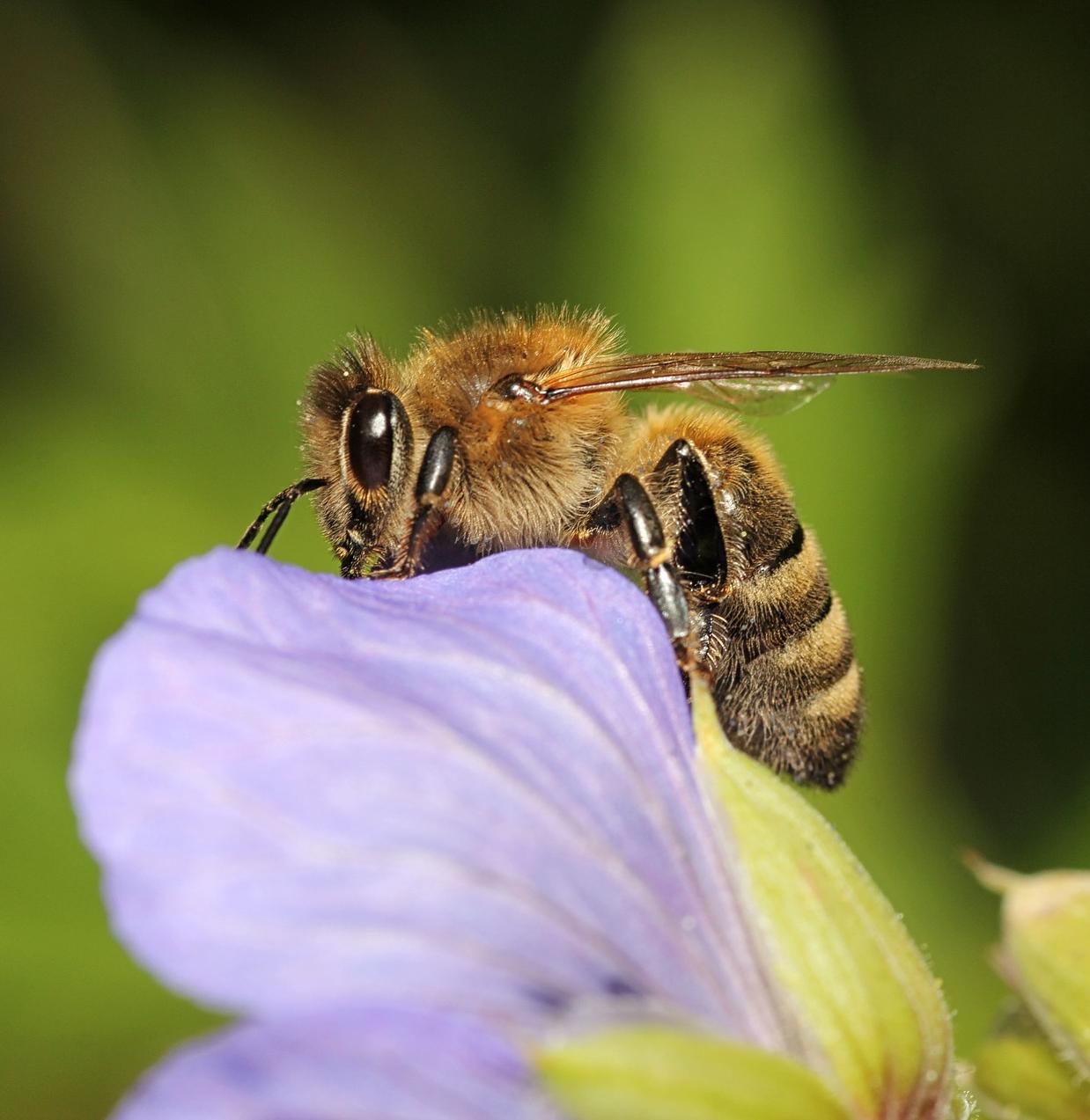 Bienen: Freund und Helfer